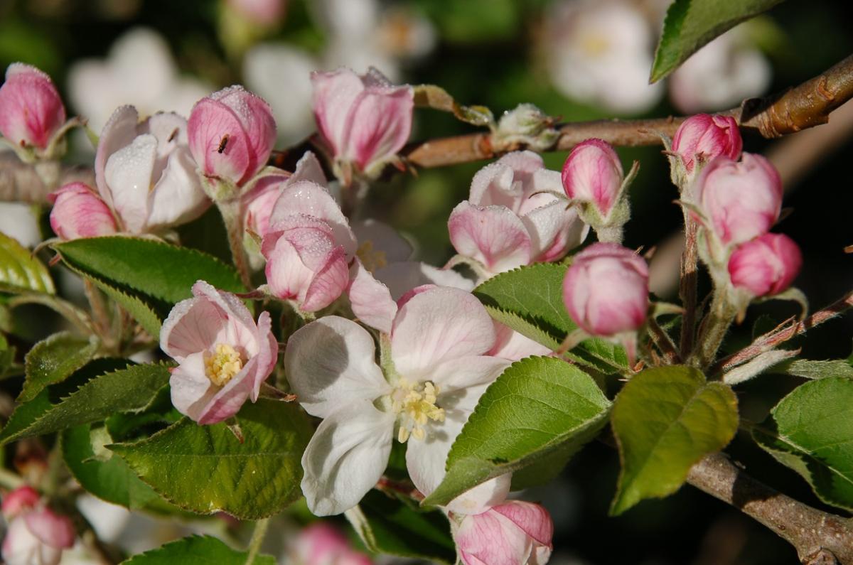 blossom.1